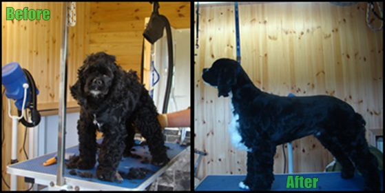 A typical example of an American Cocker before and after grooming