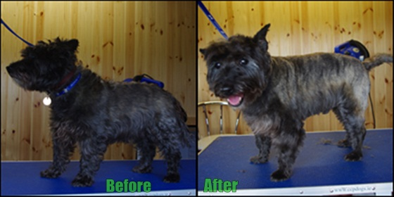 A lovely Cairn Terrier before and after grooming